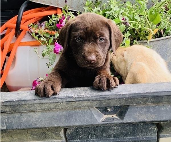 Medium Photo #7 Labrador Retriever Puppy For Sale in AVA, MO, USA