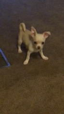 Chihuahua Puppy For Sale in STANTON, KY, USA