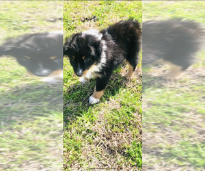Australian Shepherd Puppy for sale in WOLFE CITY, TX, USA