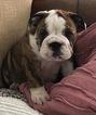 English Bulldogge Puppy For Sale in LELAND, NC, USA