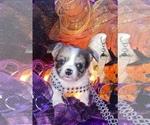 Small #19 Bullhuahua-Chihuahua Mix