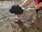 German Shorthaired Pointer Puppy For Sale in WILLIAMSPORT, PA, USA