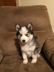 CKC registered puppies