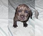 Puppy 13 Cane Corso