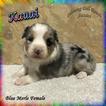 Weimaraner Puppies For Sale In West Palm Beach