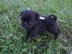 Pug Puppy For Sale in CATLETT, VA, USA