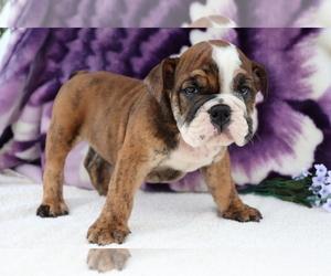 English Bulldog Puppy for sale in SHILOH, OH, USA