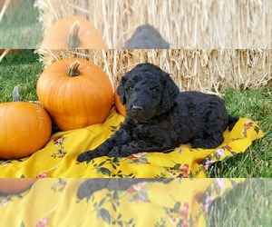 Poodle (Standard) Puppy for sale in PAYETTE, ID, USA