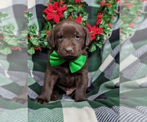 Labrador Retriever Puppy for sale in GLEN ROCK, PA, USA