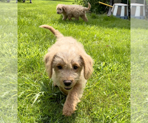 Double Doodle Puppy for Sale in IRWIN, Pennsylvania USA