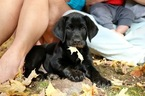 Labrador Retriever Puppy For Sale in SILVER LAKE, IN
