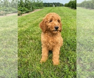 Goldendoodle Puppy for Sale in MIDDLEBURY, Indiana USA