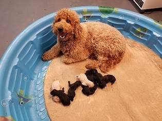 Goldendoodle-Poodle (Standard) Mix Puppy for sale in MENIFEE, CA, USA