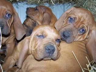 Redbone Coonhound Puppy for sale in SMITHVILLE, OK, USA
