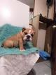 English Bulldog Puppy For Sale in BOSTON, MA, USA