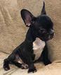 French Bulldog Puppy For Sale in CHARLESTON, SC,