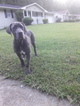 Cane Corso Puppy For Sale in ATLANTA, GA, USA