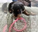 Puppy 6 Rottweiler