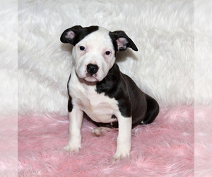 American Bully Puppy for sale in CHESTER, PA, USA
