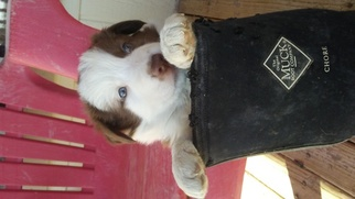 Border Collie Puppy For Sale in PAHRUMP, NV