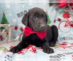 Medium Labrador Retriever