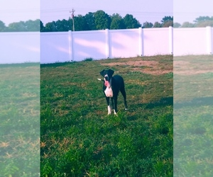 Great Dane Puppy for sale in SHIPSHEWANA, IN, USA