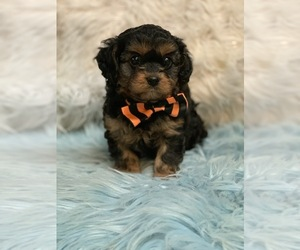 Cavapoo Puppy for Sale in CARTER, Indiana USA