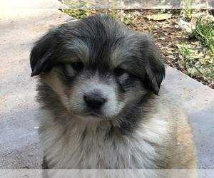 Anatolian Shepherd-Great Pyrenees Mix Puppy for Sale in SNOWFLAKE, Arizona USA