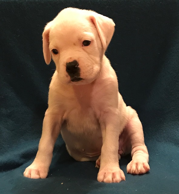 View Ad: Boxer Puppy for Sale near Spain