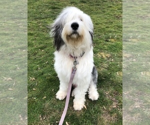 View Ad Sheepadoodle Puppy For Sale Near Wisconsin River