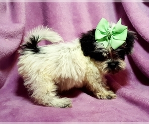 Poodle (Toy)-Shih Tzu Mix Puppy for sale in BUFFALO, MO, USA