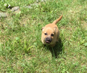 Dachshund-Jack Russell Terrier Mix Puppy For Sale in MILFORD, PA, USA