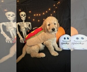 Goldendoodle Puppy for Sale in GRAY, Tennessee USA