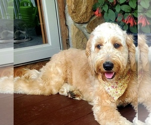 Mother of the Goldendoodle puppies born on 05/18/2021