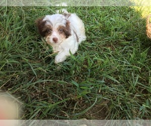 Poovanese Puppy for Sale in AVA, Missouri USA