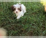 Poovanese Puppy For Sale in AVA, MO, USA