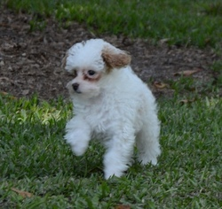 Poodle (Toy) Puppy for sale in LORIS, SC, USA