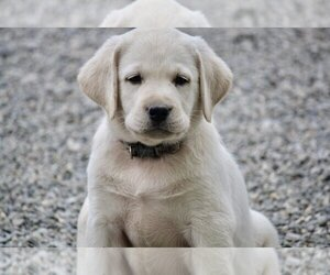 Labrador Retriever Puppy for Sale in GERMANTOWN, New York USA