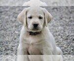 Labrador Retriever Puppy For Sale in GERMANTOWN, NY, USA