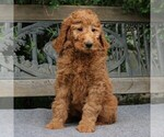 Small #4 Poodle (Standard)