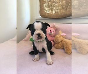 Boston Terrier Puppy for sale in REDONDO BEACH, CA, USA