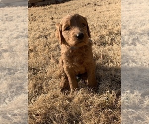 Goldendoodle-Poodle (Standard) Mix Puppy for Sale in EDMOND, Oklahoma USA