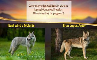 Puppyfinder com: Czech Wolfdog puppies puppies for sale and