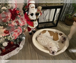 Bulldog Puppy for sale in KISSIMMEE, FL, USA
