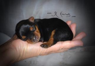 Yorkshire Terrier Puppy For Sale in GRAYSON, LA