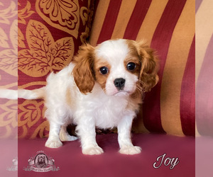 Cavalier King Charles Spaniel Puppy for sale in MIAMI, FL, USA