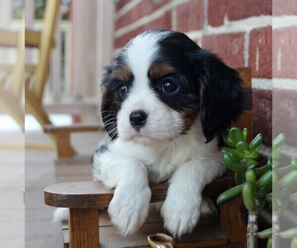Medium Photo #6 Cavalier King Charles Spaniel Puppy For Sale in LANCASTER, PA, USA