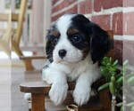 Small Photo #6 Cavalier King Charles Spaniel Puppy For Sale in LANCASTER, PA, USA