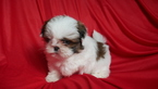 Shih Tzu Puppy For Sale in KENSINGTON, OH, USA