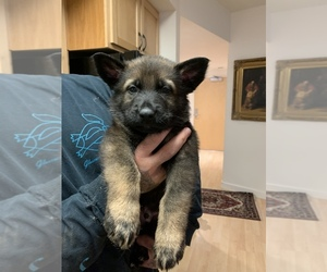 German Shepherd Dog Puppy for sale in EUGENE, OR, USA